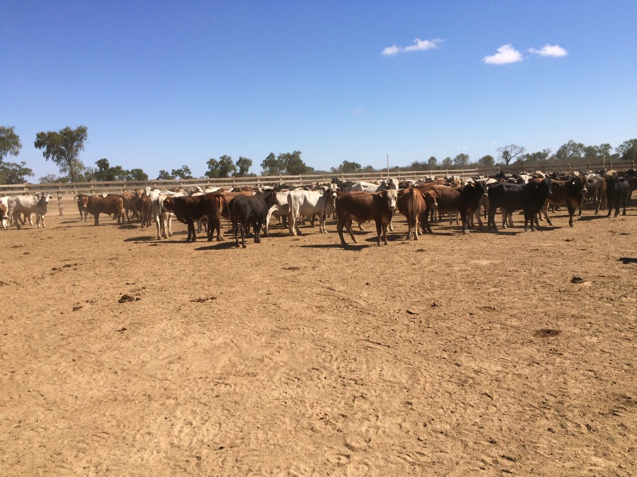 Paraguay cattle raising opportunity - cattle in field 1