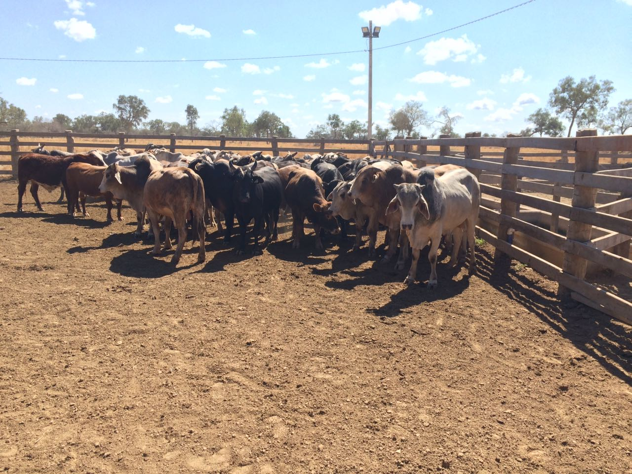 Paraguay cattle raising opportunity - cattle in field 2