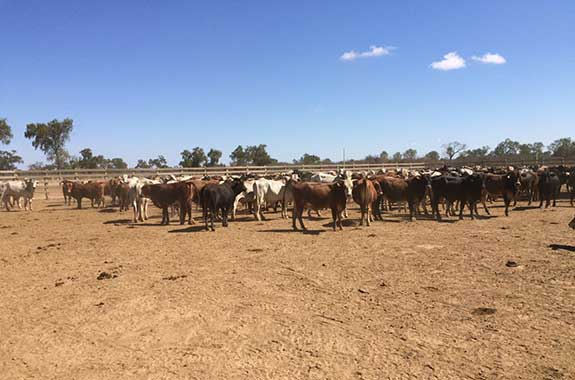 cattle raising in Paraguay