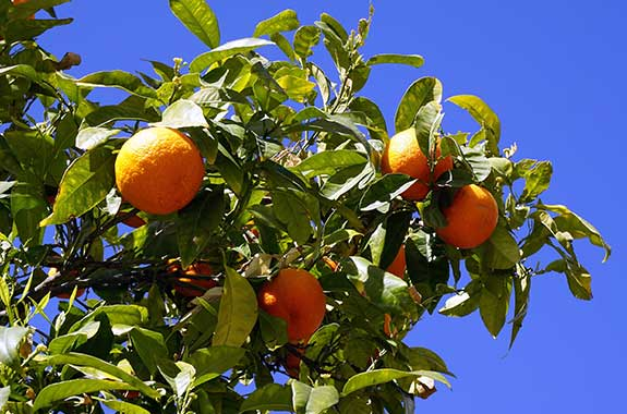 growing oranges on your plantation