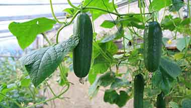 Invest in greenhouse cucumbers