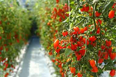 Invest in greenhouse tomatos