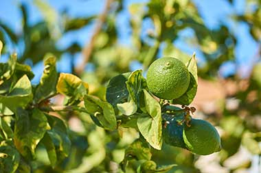 growing limes in Paraguay