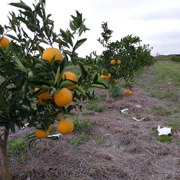 PAGI orange plantation June 2019