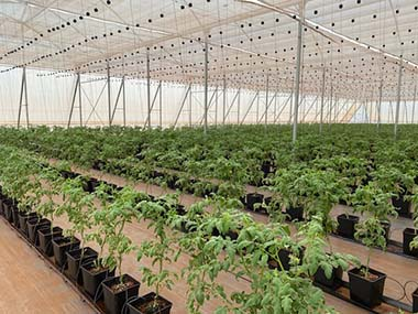 3 week old tomato saplings in greenhouse in Paraguay