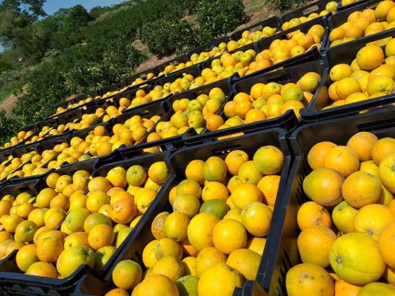 freshly harvested investor oranges on our orange plantation in Paraguay