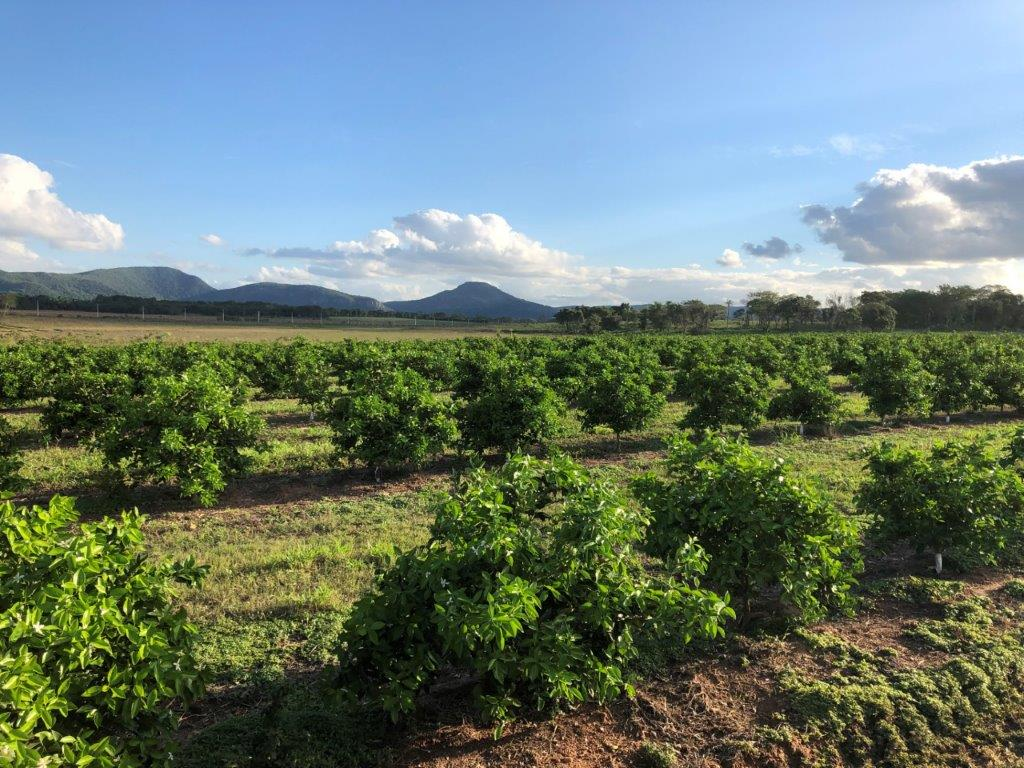 Trees growing on our orange plantation in Paraguay