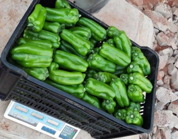 Harvested Greenhouse Green Peppers