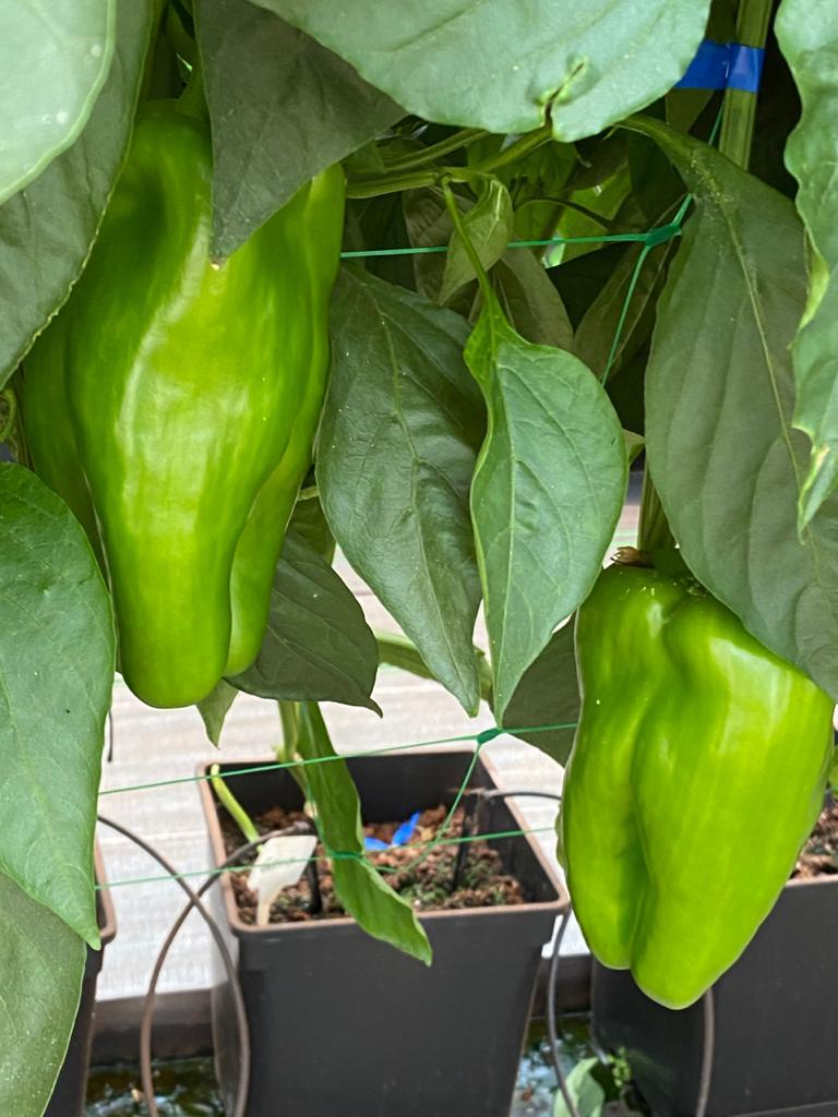 3 month old green peppers growing in greenhouse