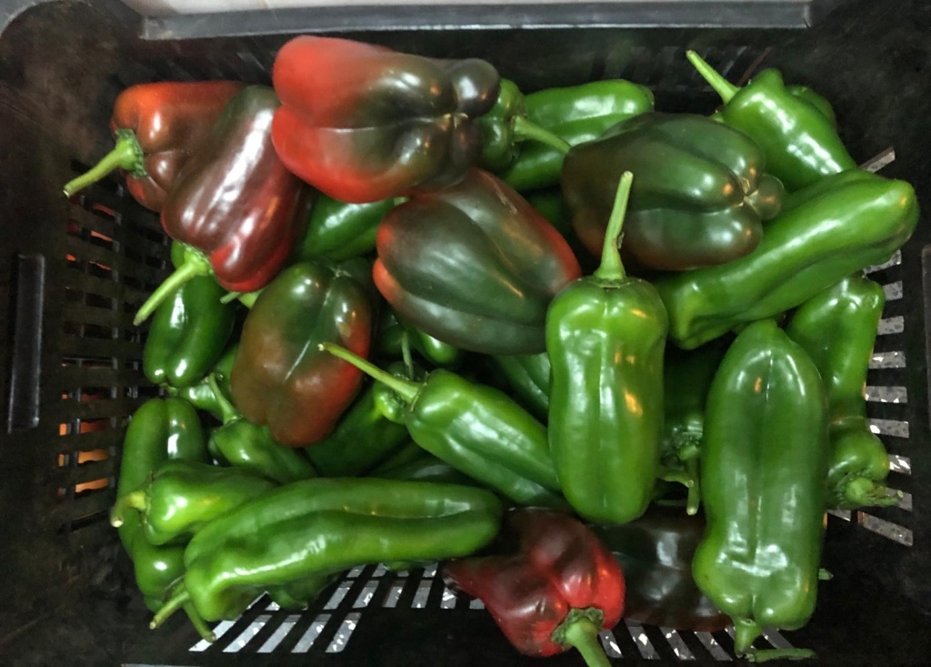 Greenhouse green peppers harvested