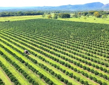 Drone Shot from Orange Trees Growing on our La Colmena Farm in Paraguay