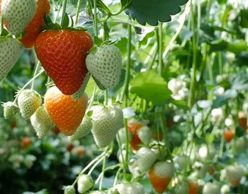Strawberries Growing in Hydroponic Strawberry Greenhouse