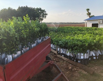 Orange saplings nursery AgriTerra Paraguay